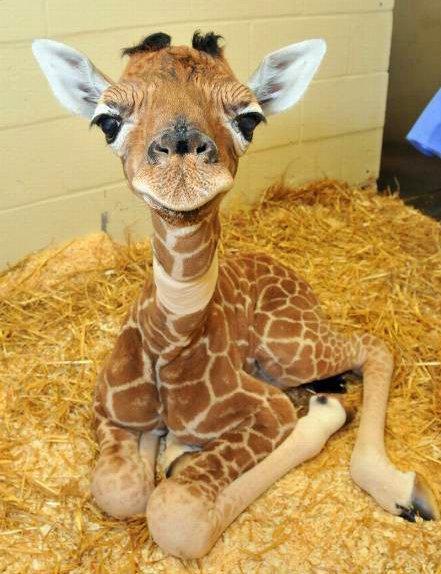 Girafje-1