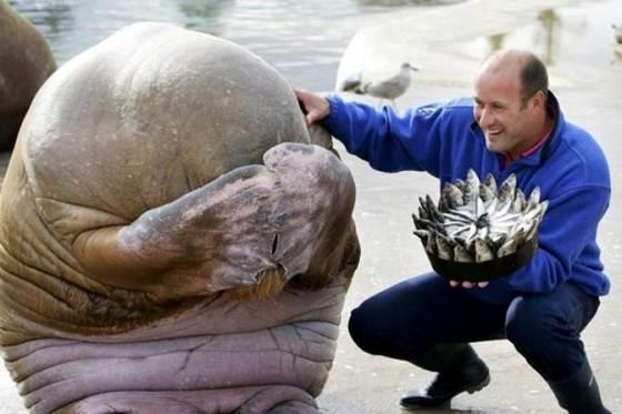 Verlegen walrus