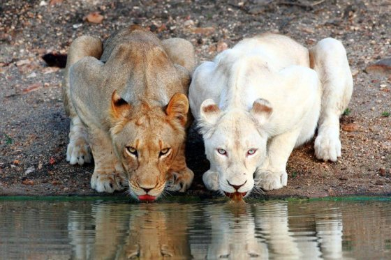 lionesses-white-lion-drinking-at-the-watering-hole-002