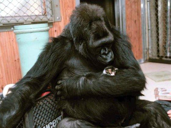 gorilla en poesje