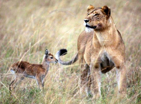 leeuwin en impala