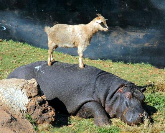 nijlpaard en geitje