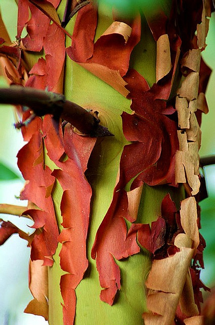 Arbutus-Tree-and-Bark-by-kirchypics-on-flickr