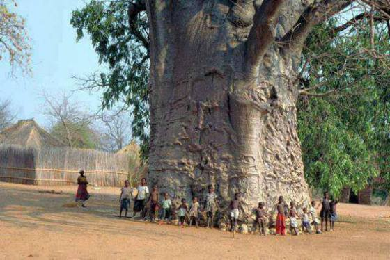 nature-trees-2000-years-old-tree-in-South-Africa-known-as-tree-of-life-Baobab
