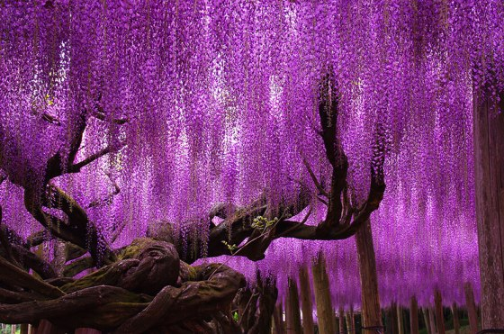 tree-144-year-old-wisteria-in-Japan-by-tungnam.com_.hk_