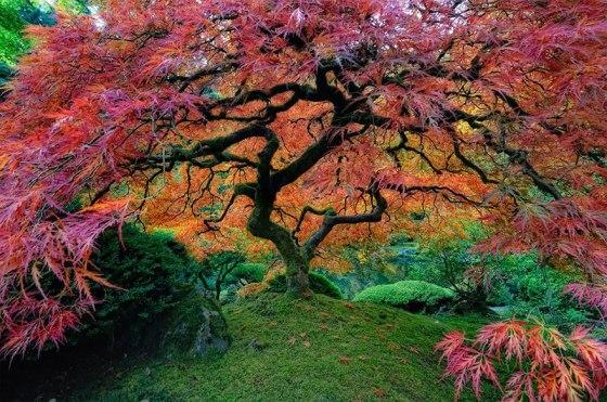tree-Japanes-Maple-in-Portland-Oregon-USA-by-falcor88