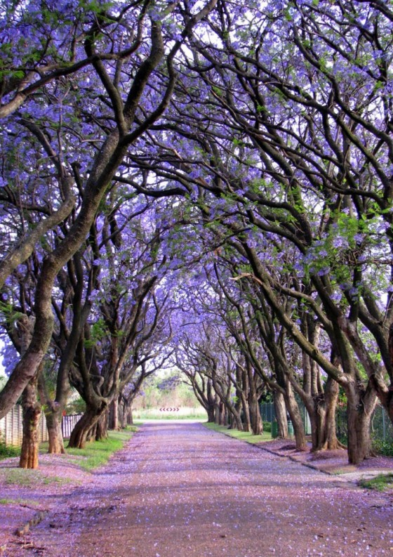 trees-Jacarandas-in-South-Africa-by-Elizabeth-Kendall-723x1024