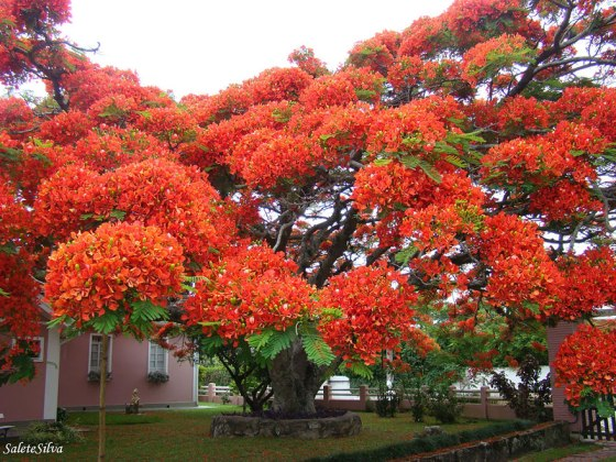 trees-The-flamboyant-tree-is-endemic-to-Madagascar-but-it-grows-in-tropical-areas-around-the-world.-Image-credits-Salete-T-Silva
